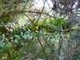 Araucaria du Chili – Etterbeek, Rue Père Eudore Devroye, 29 –  26 Juin 2013