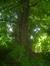 Tilleul à larges feuilles – Bruxelles, Donderberg, Rue des Horticulteurs –  08 Juillet 2013