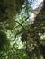 Quercus pubescens  – Jette, Titecapark, Dieleghemdreef, 79 –  10 Juli 2013
