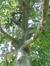 Hêtre pourpre – Bruxelles, Parc d'Egmont –  21 Août 2013