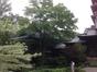 Japanse Esdoorn