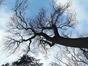 Frêne commun – Bruxelles, Jardin de la Tour Japonaise, Rue Jules Van Praet –  16 Mars 2020