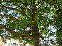 Erable sycomore – Molenbeek-Saint-Jean, Parc des Muses, parc public –  05 Août 2013