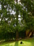 Epicea commun – Uccle, Avenue Victor-Emmanuel III, 27 –  09 Août 2013
