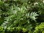 Fraxinus 'Charles Bommer' – Saint-Josse-Ten-Noode, Jardin Botanique, parc public –  12 Août 2013