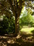 Acer pseudoplatanus 'Purpurascens' – Saint-Josse-Ten-Noode, Square Armand Steurs, Square Armand Steurs –  14 Août 2013