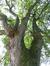 Erable sycomore – Bruxelles, Parc d'Egmont –  21 Août 2013
