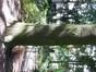 Hêtre d'Europe – Bruxelles, Parc d'Egmont –  22 Août 2013