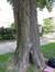Arbre aux quarante écus – Bruxelles, Parc d'Egmont –  21 Août 2013