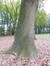 Chêne rouge d'Amérique – Uccle, Parc de Wolvendael –  29 Octobre 2014