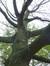 Amerikaanse eik – Ukkel, Wolvendaelpark –  29 Oktober 2014