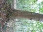 Platane à feuille d'érable – Uccle, Kinsendael –  25 Octobre 2013