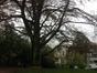 Hêtre pourpre – Uccle, Avenue Fond'Roy, 112 –  06 Novembre 2013