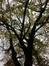 Noorse esdoorn – Ganshoren, Tuin van het huis Vandevelde, Jacques Sermonlaan, 25 –  19 November 2013