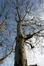 Platane à feuille d'érable – Ganshoren, Square du Centenaire –  28 Novembre 2018