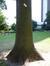 Tulpenboom – Brussel, Egmontpark –  21 August 2013