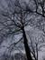Chêne à cupules chevelues – Ixelles, Etangs d'Ixelles, Avenue du Général de Gaulle –  07 Janvier 2014