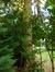 Epicea commun – Uccle, Avenue Alphonse XIII, 20 –  10 Janvier 2014