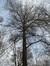 Hêtre d'Europe – Uccle, Forêt de Soignes, Boendael V –  01 Janvier 2014