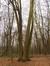Amerikaanse eik – Ukkel, Zoniënwoud, Boendael III –  01 Januari 2014