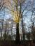 Hêtre d'Europe – Uccle, Forêt de Soignes, Boendael VIII –  01 Janvier 2014