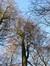 Hêtre d'Europe – Uccle, Forêt de Soignes, Boendael VI –  01 Janvier 2014