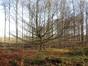Charme commun – Watermael-Boitsfort, Forêt de Soignes, Bonnier VI –  01 Janvier 2014