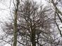 Hêtre d'Europe – Uccle, Forêt de Soignes, Infante IV –  01 Janvier 2014
