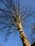 Erable sycomore – Bruxelles, Boulevard Clovis, 22 –  03 Février 2014