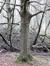 Tilleul à petites feuilles – Uccle, Forêt de Soignes, Saint-Hubert VIII –  01 Janvier 2014