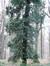 Pin sylvestre – Uccle, Forêt de Soignes, Saint-Hubert VI –  01 Janvier 2014