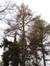 Mélèze d'Europe – Uccle, Forêt de Soignes, Saint-Hubert VI –  01 Janvier 2014