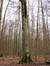 Merisier – Uccle, Forêt de Soignes, Saint-Hubert II –  01 Janvier 2014