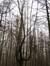 Hêtre d'Europe – Uccle, Forêt de Soignes, Saint-Hubert II –  01 Janvier 2014
