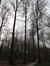 Hêtre d'Europe – Uccle, Forêt de Soignes, Saint-Hubert IV –  01 Janvier 2014