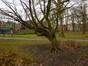 Charme commun – Schaerbeek, Parc Josaphat –  17 Mars 2014