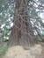 Sequoia géant – Schaerbeek, Parc Josaphat –  25 Mars 2014