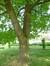 Chêne rouge d'Amérique – Evere, Rue Van Waeyenbergh –  05 Mai 2014