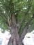 Cerisier du Japon – Ganshoren, Rue Jean-Baptiste Van Pagé –  05 Mai 2014