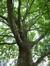 Platane à feuille d'érable – Saint-Josse-Ten-Noode, Jardin Botanique –  09 Mai 2014