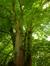 Tilleul à larges feuilles – Woluwé-Saint-Pierre, Parc Parmentier –  14 Mai 2014