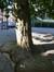 Platane à feuille d'érable – Bruxelles, Chaussée d'Anvers –  16 Mai 2014