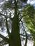 Cèdre bleu de l'Atlas – Molenbeek-Saint-Jean, Parc du Karreveld  –  16 Mai 2014