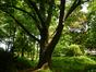 Amerikaanse eik – St.- Pieters - Woluwe, Parmentierpark –  20 Mei 2014