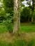 Bouleau verruqueux – Woluwé-Saint-Pierre, Parc Parmentier –  21 Mai 2014
