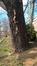 Noyer noir – Bruxelles, Parc privé de l'Institut royal des Sciences naturelles de Belgique et chemin des Chablis, Rue Vautier, 29 –  01 Avril 2016