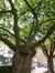 Cerisier du Japon – Jette, Rue Bonaventure, 10 –  03 Juin 2014