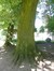 Tilleul argenté – Koekelberg, Parc Elisabeth –  06 Juin 2014