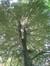 Hêtre pourpre – Woluwé-Saint-Lambert, Parc de Roodebeek - partie Sud –  11 Juin 2014
