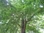 Beuk – St.- Lambrechts - Woluwe, Roodebeekpark –  11 Juni 2014